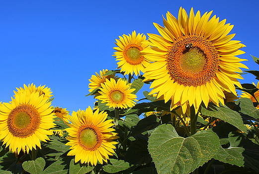 Sunflowers in Blue by Suzanne DeGeorge