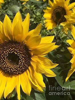 Sunflowers by Jacklyn Duryea Fraizer