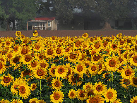Sunflowers by Paula Ponath