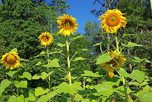 Sunflowers by Zalman Latzkovich