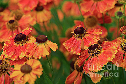 Sunkissed Heleniums by Tracy Hall