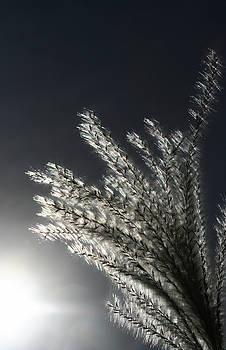Sunlight Grass by Steve Augustin