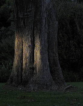 Sunlight on treetrunk by Barry Culling