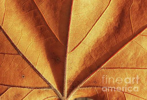 Sunlit Autumn Leaf by Karen Adams