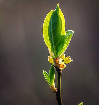 Sunlit Leaf by Don L Williams