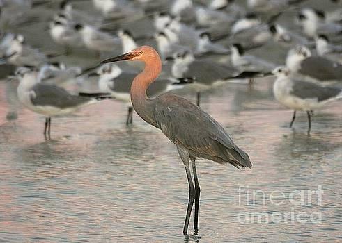 Sunlit Reddish Egret by Myrna Bradshaw
