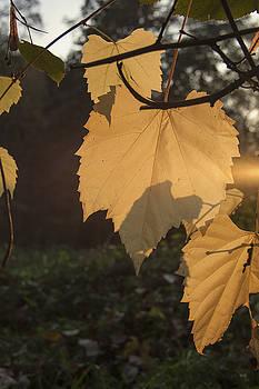 Sunny Autumn Leaves by Zeljko Dozet