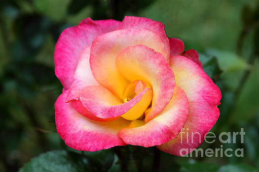 Sunset Rose by Dawn Kori Snyder