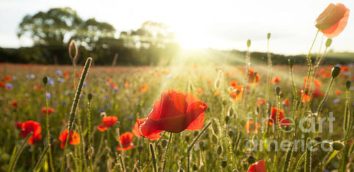 Sunshine poppy field landscape by Simon Bratt Photography LRPS