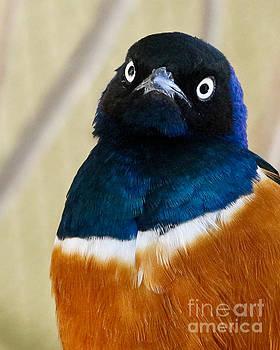 Superb Starling Eyes by Anita Oakley