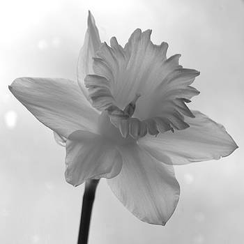 Surfacing image of a Daffodil by Sheila Price