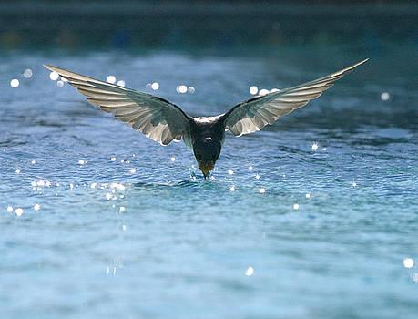 Swallow drinks from pool by Bryan Allen