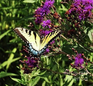 Swallowtail on Butterfly Weed by J L Zarek