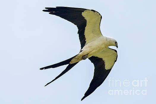 Swallow Tailed Kite over Florida by Natural Focal Point Photography