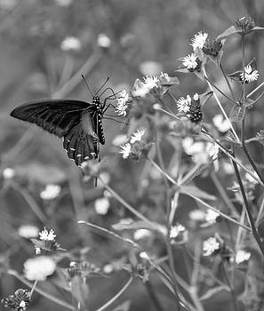 Steve Harrington - Swallowtail Butterfly bw