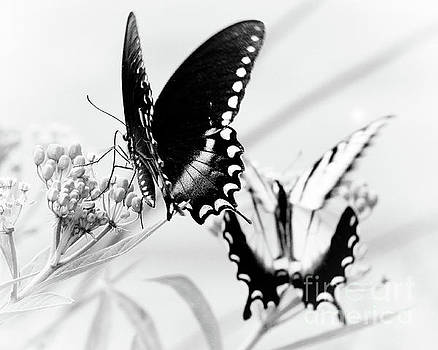 Swallowtail Double Feature by Anita Oakley