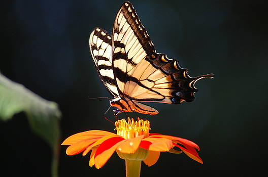 Swallowtail by Eddy Bateman