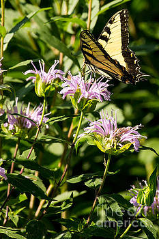 Swallowtail in Summer by Natural Focal Point Photography