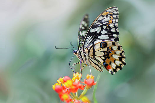 Swallowtail by Jacky Parker