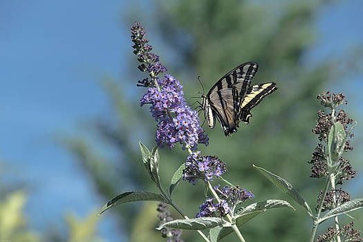 Swallowtail on Butterfly Bush by Mick Anderson