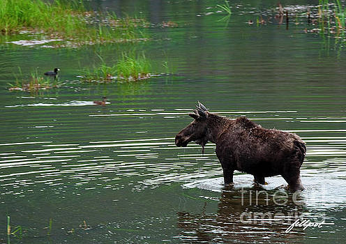young Moose in spring pond by Jim Fillpot