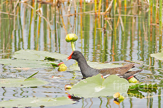 Swamp Moorhen by Natural Focal Point Photography