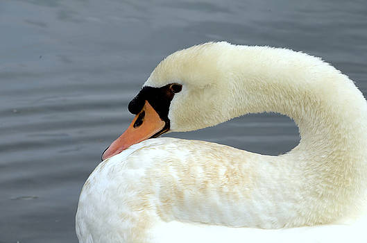 Swan by Charles Bacon Jr