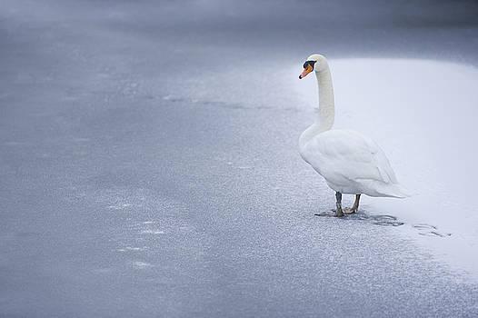 Swan by Dean Bertoncelj
