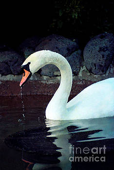 Swan in Action At The San Francisco Zoo by Daniel Larsen
