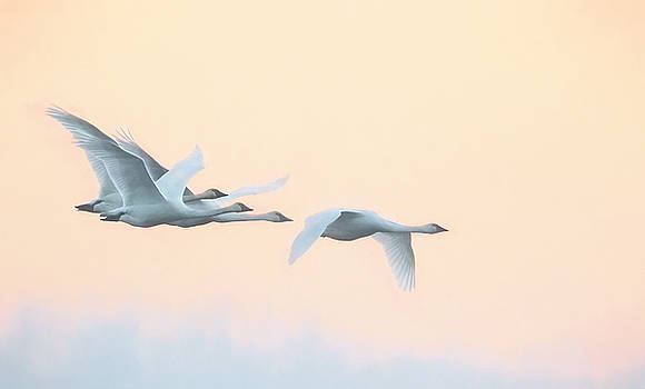 Swan Migration  by Kelly Marquardt