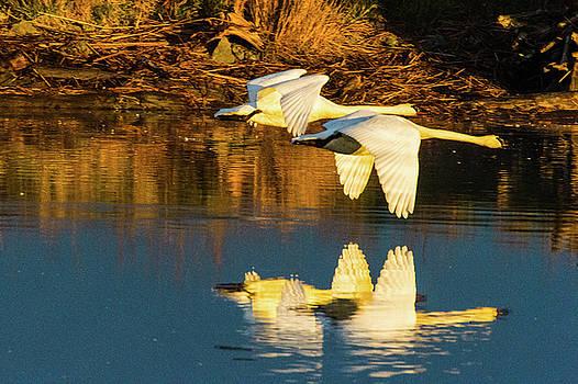 Swan reflection by Hisao Mogi