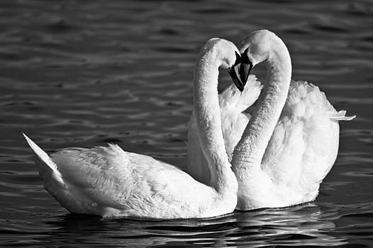 Swans by Brandon Broderick