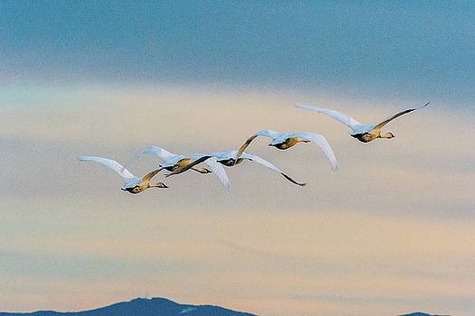 Swans in dawn color  by Hisao Mogi