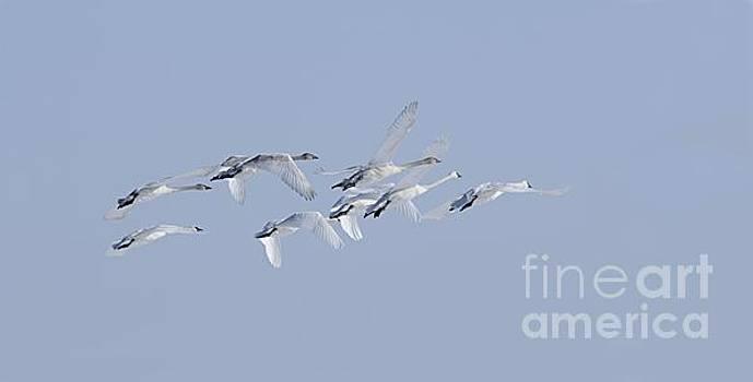 Larry Ricker - Swans in Flight