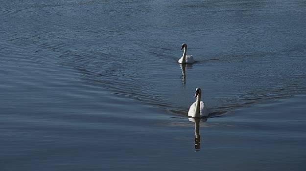 Swans On Blue by Charles Kraus