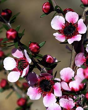 Sweet Cherry by Baggieoldboy