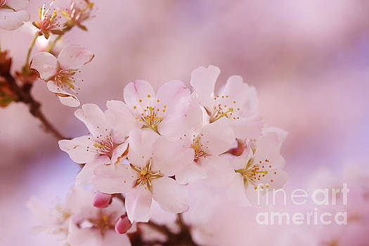 LHJB Photography - Sweet Cherry Blossoms