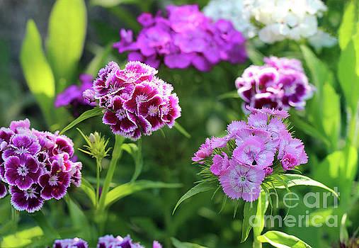 Sweet William Flowers in Garden by Karen Adams