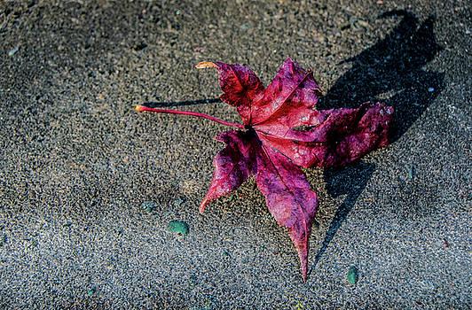 Sweetgum leaf, Cerdarville State Forest, Maryland, 2016 by Wayne Higgs