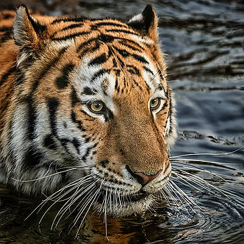 Swimming Tiger by Chris Boulton