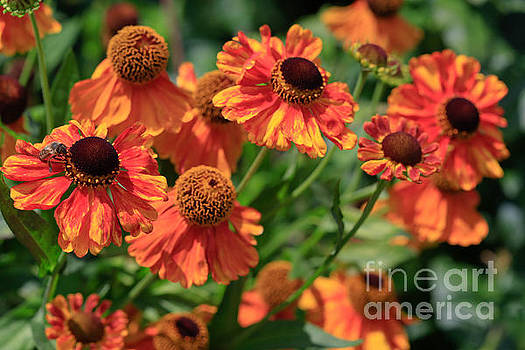 Swinging Heleniums. by Tracy  Hall