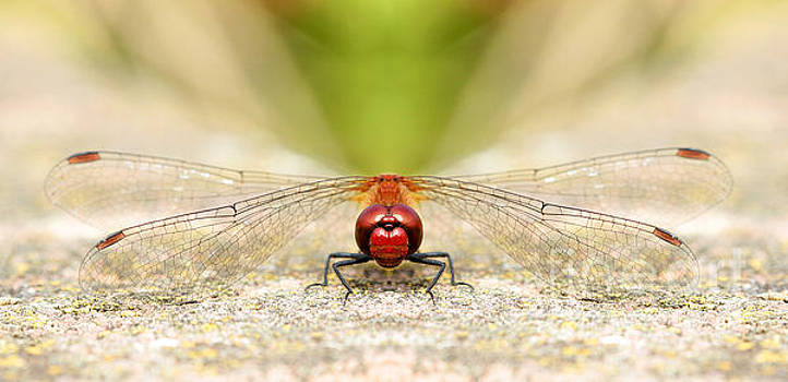Symmetry Of A Dragonfly Grin by Lisa Cockrell