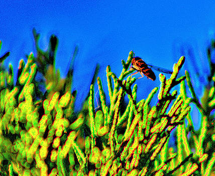 Syrphid Fly  by Scott Carlton