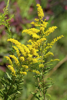 Tall Goldenrod Wildflowers by Kathy Clark