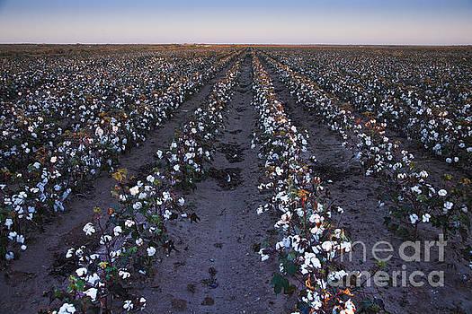 Tall Organic Cotton, West Texas by Greg Kopriva
