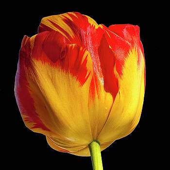 Tall Tulip by Cathy Kovarik