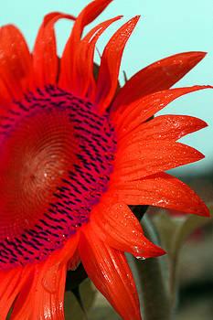 Carolyn Stagger Cokley - tangerine sunflower