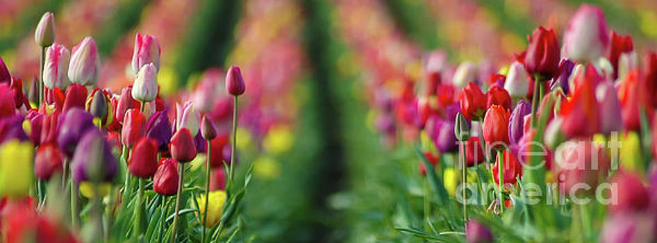 Tapestry Of Tulips by Nick Boren