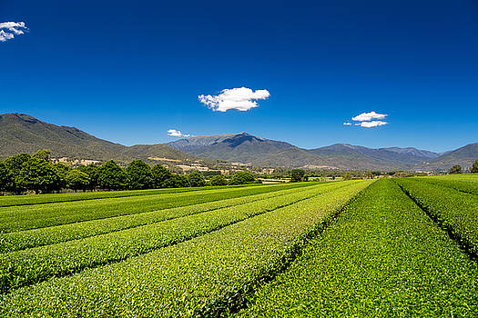 Tea in the Valley by Mark Lucey