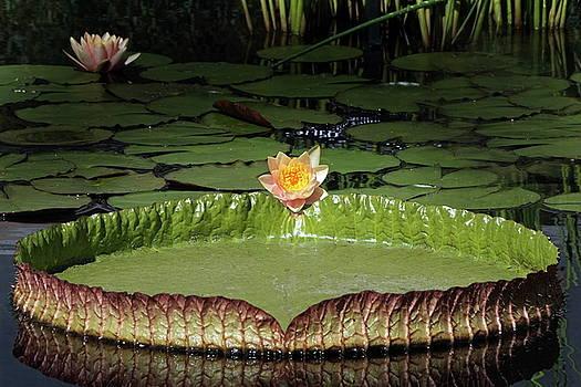 Byron Varvarigos - Temperate And Tropical Waterlilies